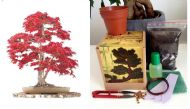 Japanese Maple Bonsai Kit MEGA KIT- Soil/Pots/Seeds/Wire/Fertilzer/Mesh/Tweezers